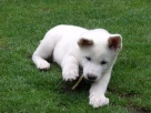 Welcome to little Muftik, a Japanese Akita puppy.